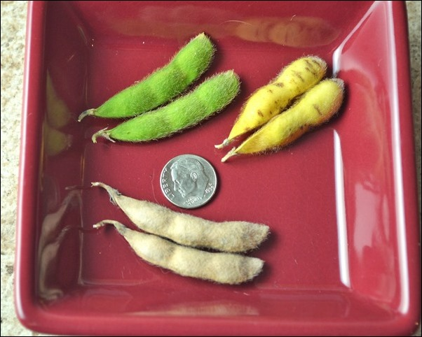 soybean pods