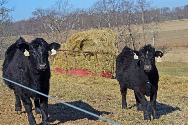 beef cattle heifers enjoying a sunny day on the farm