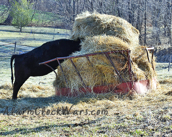 heifer buried in the hay ring