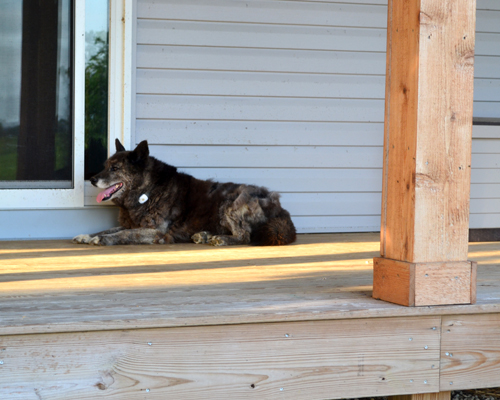 Sadie on the porch with TAGG pet tracker
