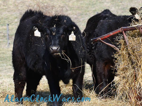 beef cattle heifers eating