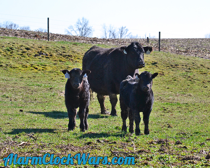 a beef cow standing with two calves