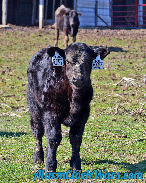 a 4 week old beef calf wants to know what I'm doing