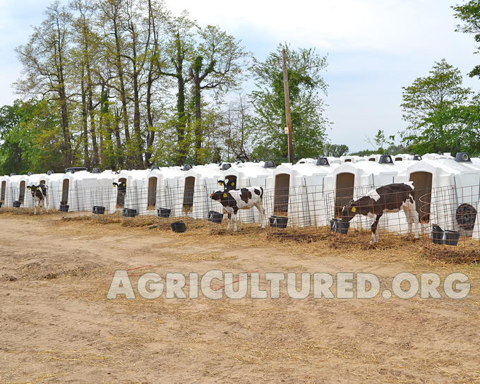 Dairy calf housing. Dairy calves can come in and out of their hutches when they want.