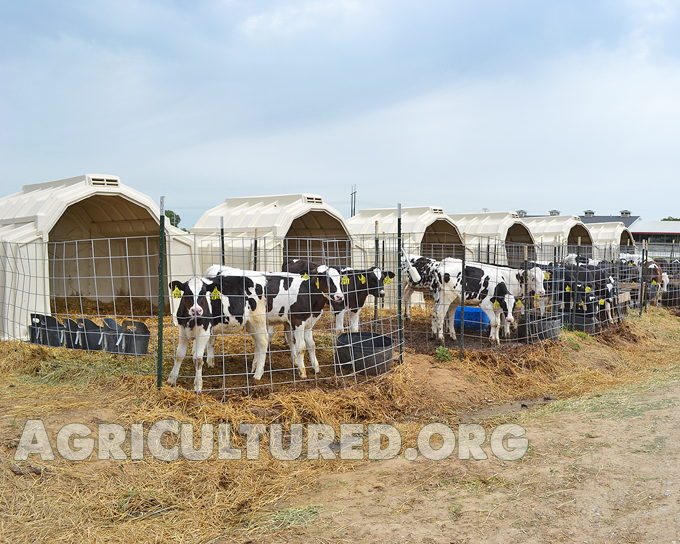 Dairy calf housing. Older dairy calves are moved to group hutches.