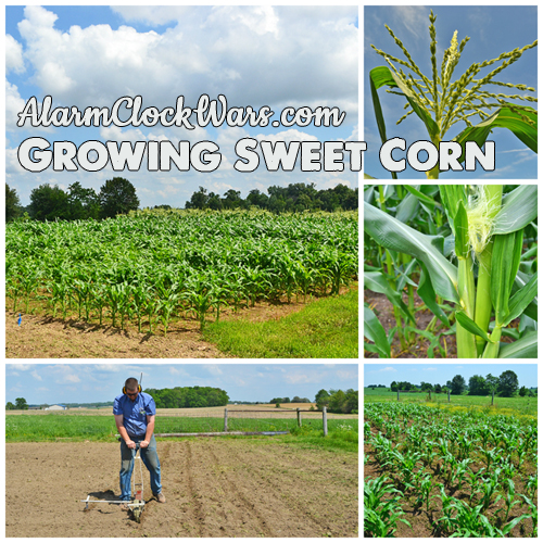 Growing sweet corn. Sweet corn gets planted in batches, so it doesn't all get ripe at the same time.