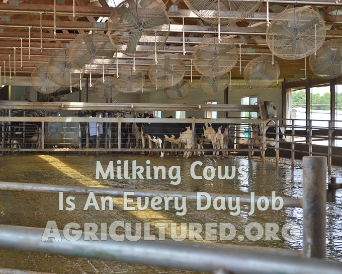Milking cows is an every day job. Cows need to be milked every day, no matter what else is going on for the farmer or his family. Dairy cows can make about 9 gallons of milk a day!
