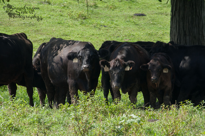 Black Angus beef cows looking to see what all the fuss is about. (It's about them!)