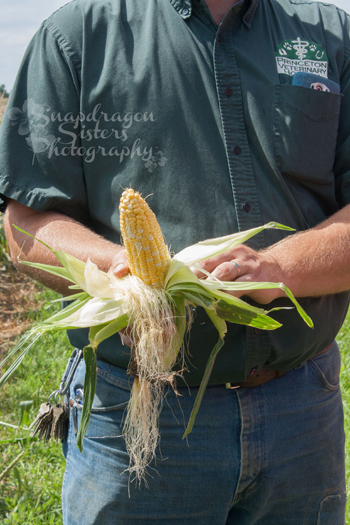 Each silk on an ear of corn is connected to one individual kernel.