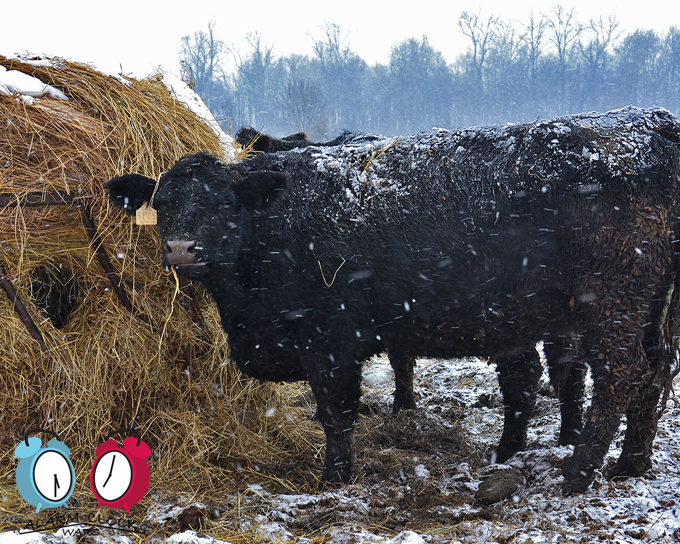 This cow still has her mouth full with hay from her hay bale. She's still chewing this hay for the first time.