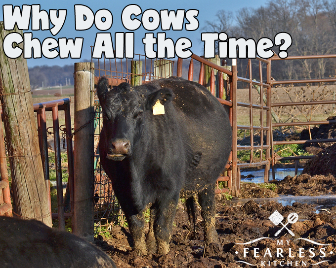 Why Do Cows Chew All The Time? - My Fearless Kitchen