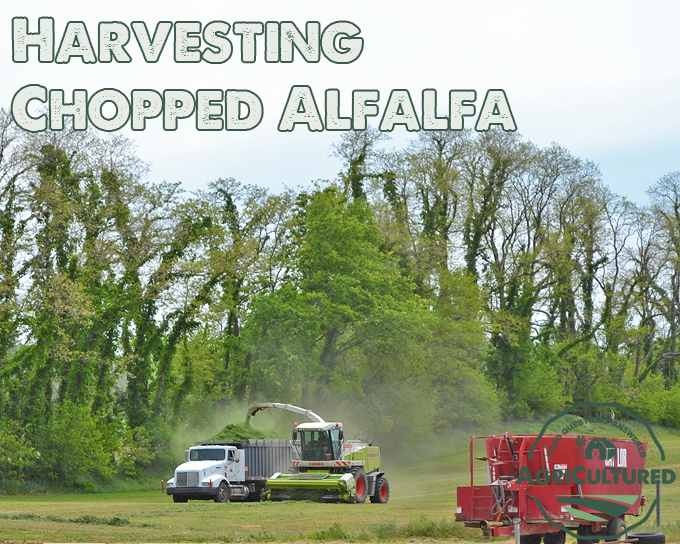 Chopped alfalfa is harvested to make alfalfa haylage as a protein and fiber source for dairy cattle.