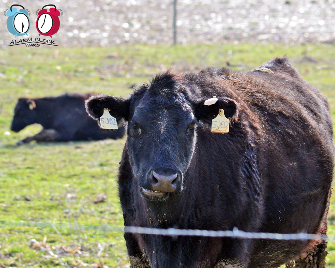 Cow 5J02 is 11 years old.
