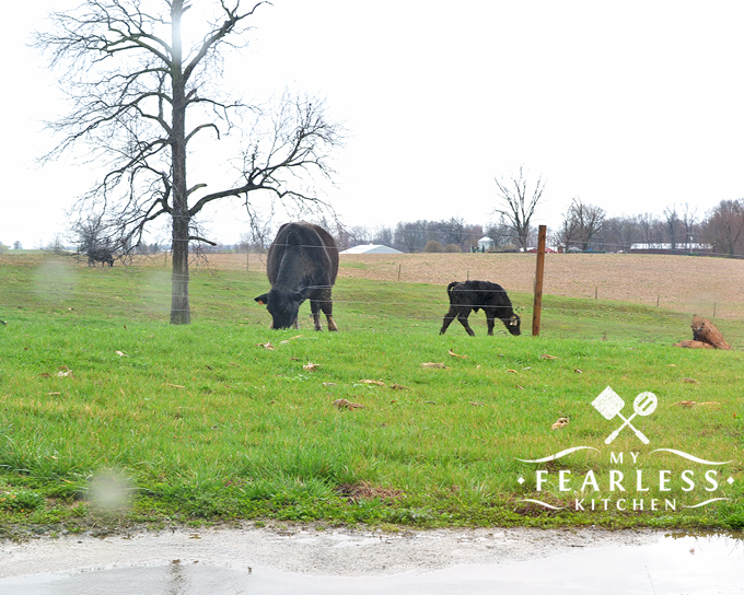 black Angus cow and calf grazing in a spring pasture in the rain