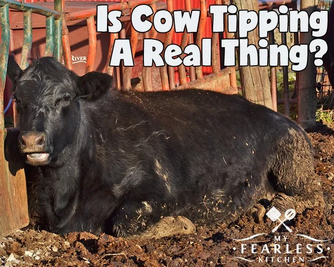 Is Cow Tipping A Real Thing? from My Fearless Kitchen. Have you ever been cow tipping? Could you tip a cow if you wanted to? It might not be quite as easy as you think...