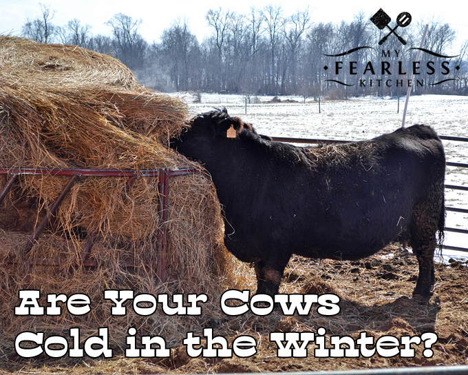 Are Your Cows Cold In The Winter? from My Fearless Kitchen. Beef cows live outside all year long, even when the temperatures drop. They actually like the cold weather better than the hot summer!