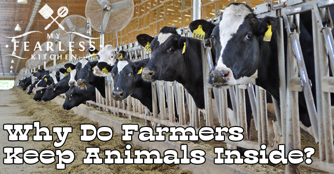 Why Do Farmers Keep Animals Inside? from My Fearless Kitchen. I am often asked why farm animals are kept inside. There are many reasons why farmers keep their animals inside, and it's not for the farmer's convenience!