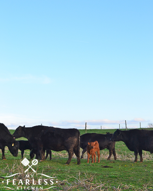 When Are Calves Born? from My Fearless Kitchen. Calves may be born at different times on different farms. Find out why a farm might choose one time of year over another, or why some farms have calves born all year long!
