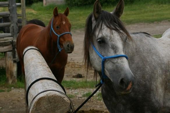 horses-792833_960_720 Pixabay CC0 Public Domain