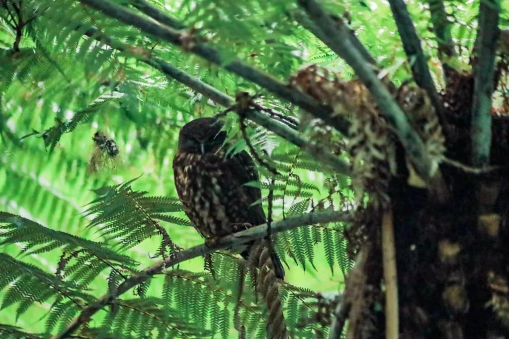 Morepork at Tiritiri Matangi sleeps under the cover of a ponga tree