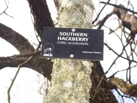 Southern Hackberry