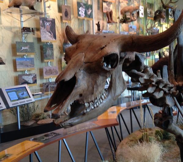 bison-skull