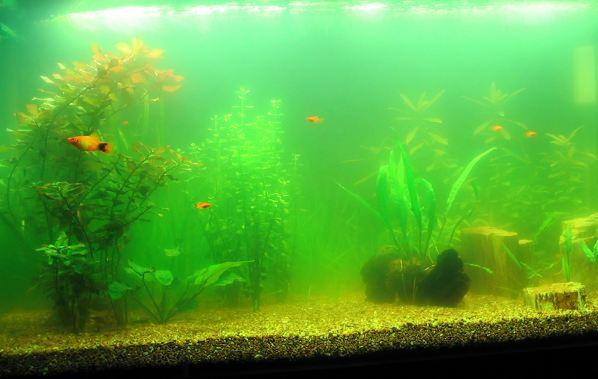 Aquarium Algae Fish