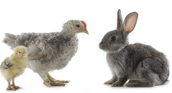 Can Rabbits and Chickens Live Together