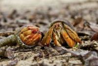 What do Hermit Crabs Eat in the Wild