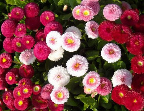 Double Daisy - Bellis Perennis - Mixed Color – (120 to 150 seeds) - MGS1280