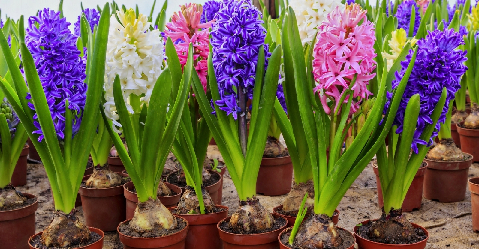 Prefinished Flowering Bulbs
