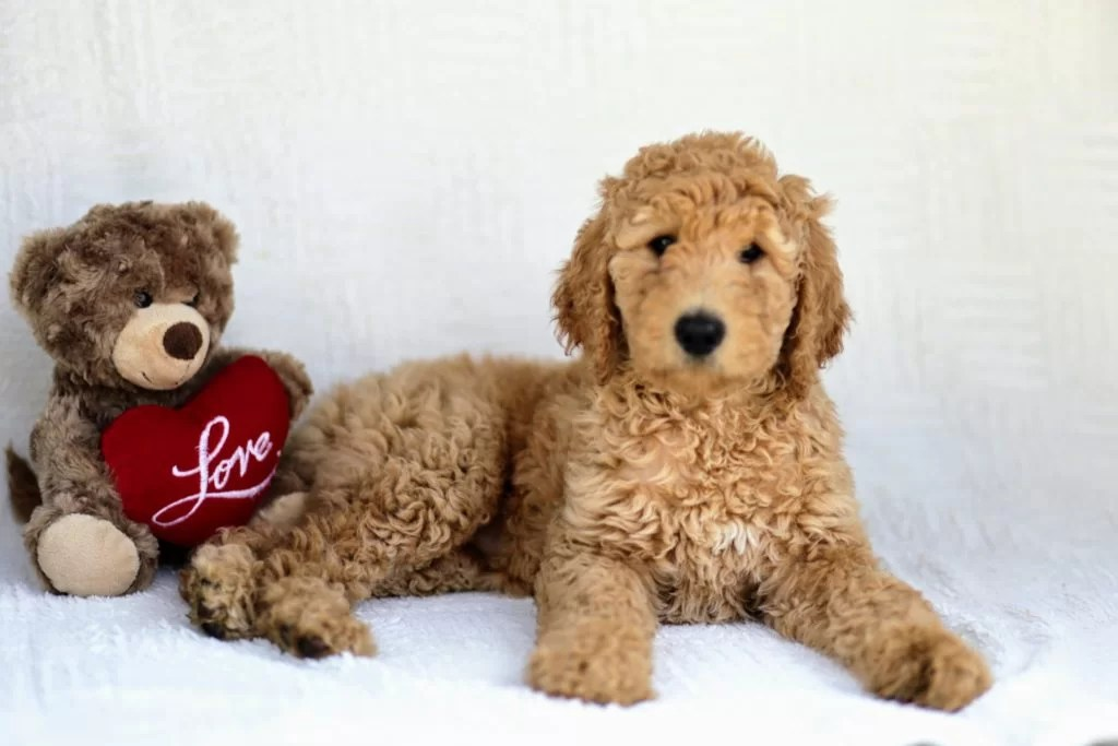 golden doodle puppy with a stuffed bear