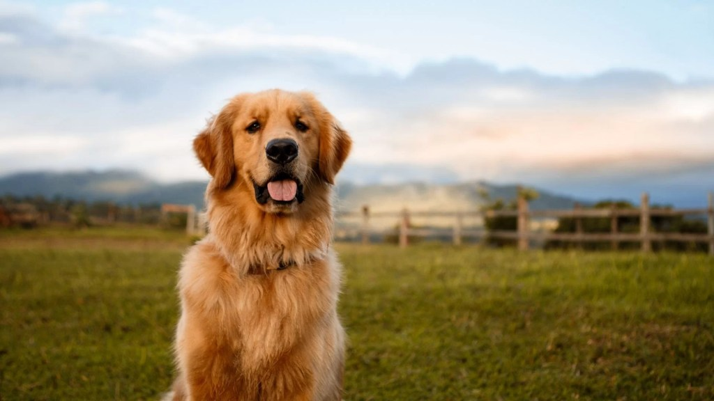 Golden retriever vs labrador. Adult golden retriever sitting in a field with tongue out.