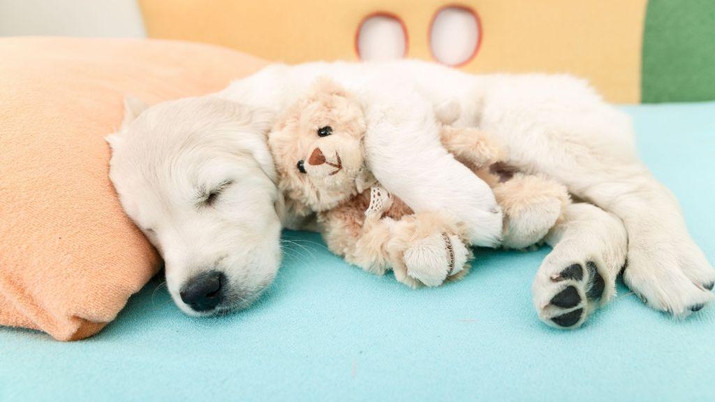 golden retriever vs labrador. Labrador puppy sleeping with a stuffed bear toy.