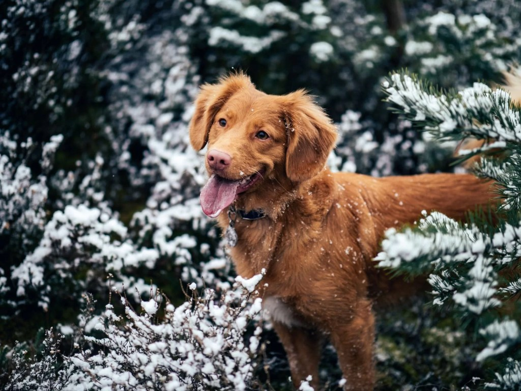 The red type of golden retriever in the snow