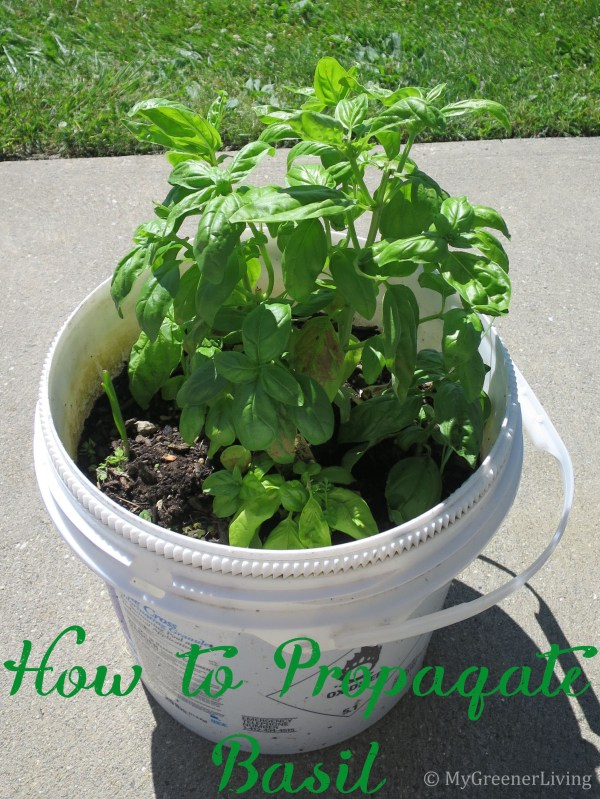 How to Propagate Basil title - pot of basil
