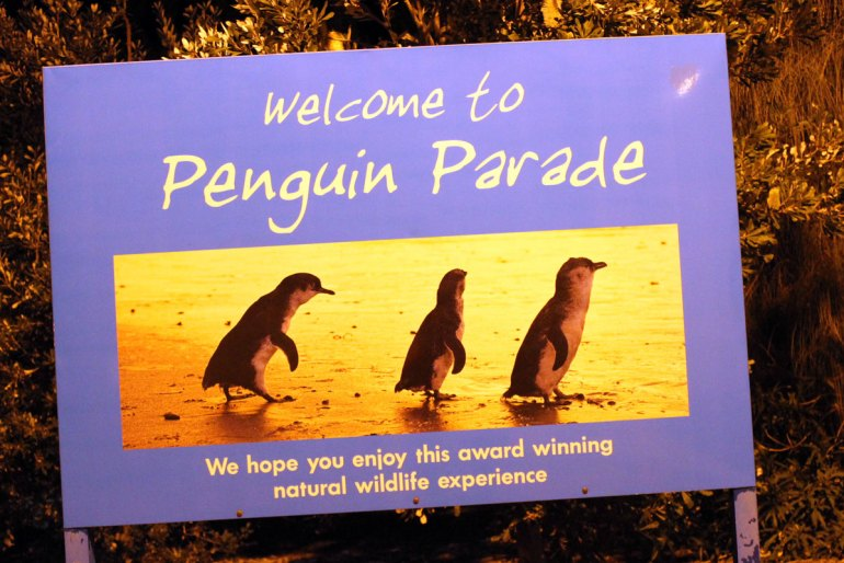 Während der Penguin Parade kommen jeden Abend Hunderte von Pinguinen an Land