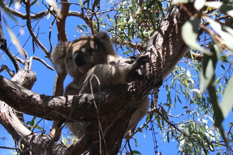 Einfach süß: Dieser Koala ist sogar gerade wach