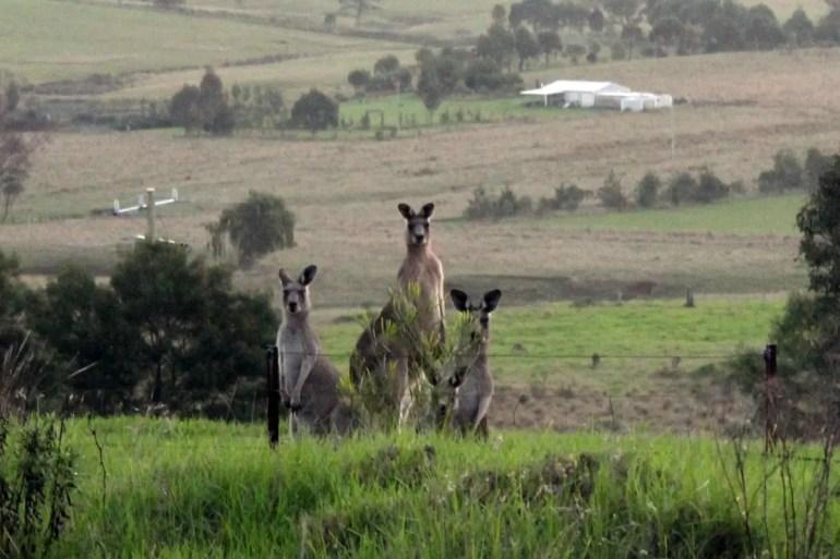 In der Dämmerung sind auf dem Land viele Kängurus unterwegs