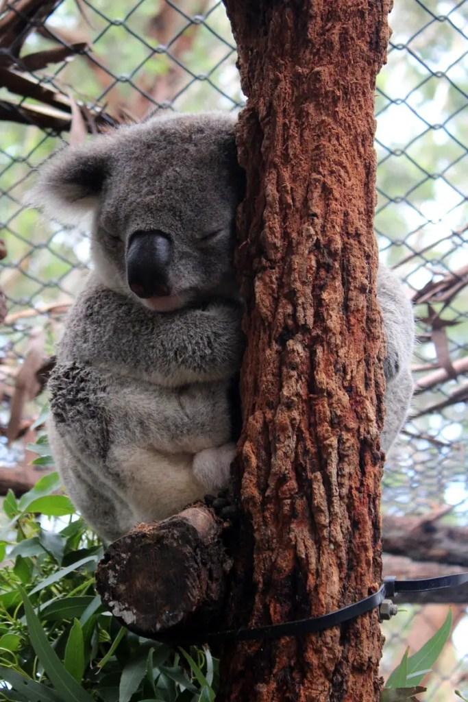 Dieser kleine Koala erholt sich im Hospital