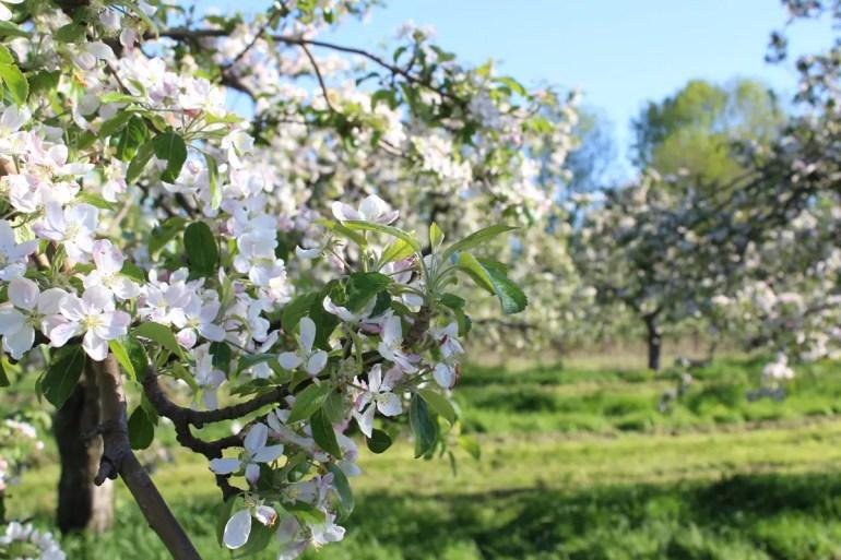 Wunderschön: Die Apfelblüte im Alten Land