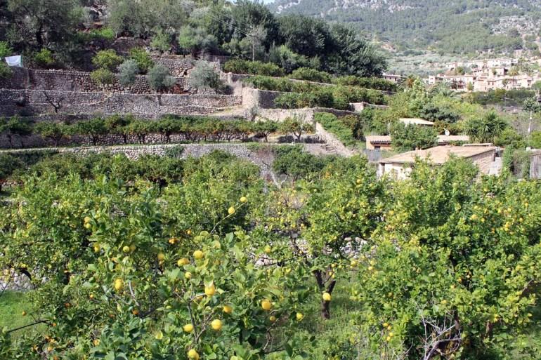 Rund um Fornalutx stehen hundete von Zitronen- und Orangenbäumen