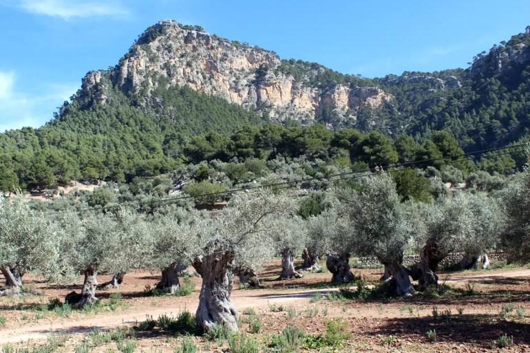Unterwegs in der Tramuntana wirst du immer wieder uralte Olivenbäume sehen