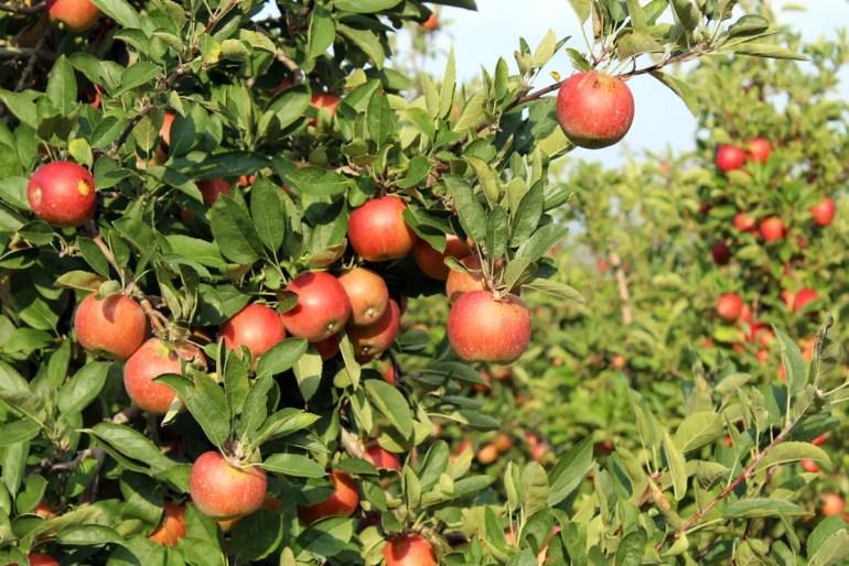 Im Herbst wird Sütdirol von der Apfelernte geprägt