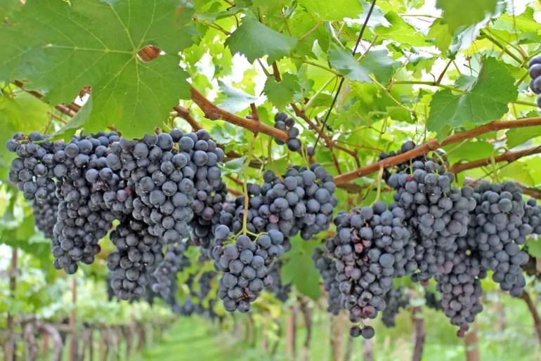 Entlang der Südtiroler Weinstraße liegen zahlreiche Weingüter