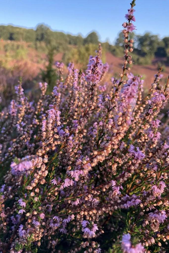 Die Heide blüht vom 08.08. bis 09.09.
