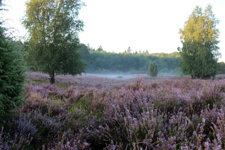 Mystisch: Morgens legt sich der Nebel über die Heideblüten