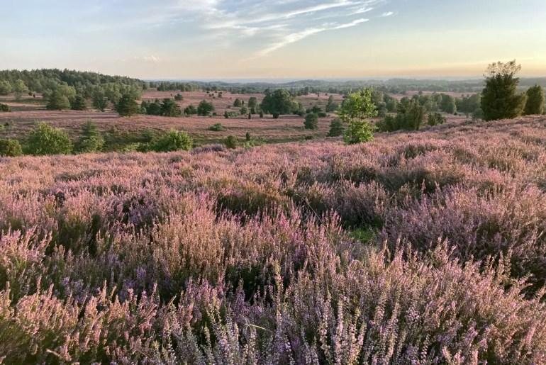 Zum Sonnenuntergang ist der Blick vom Wilseder Berg auf die blühende Heide wunderschön
