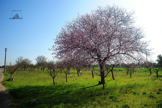 A cloud of pink peach flowers