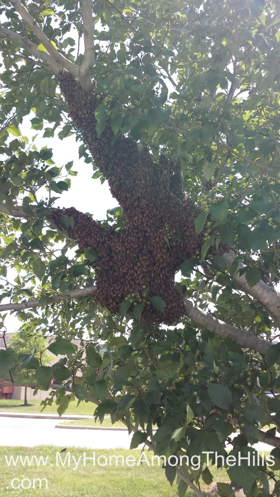 A huge swarm of honeybees